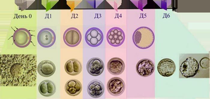 Схема развития Эмбриона до переноса
