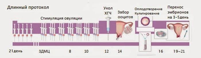 Схема проведения длинного протокола при ЭКО ИКСИ