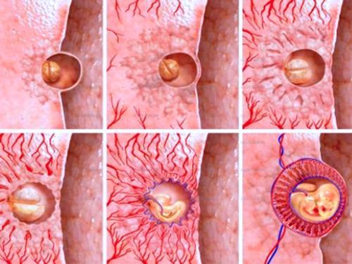 Прикрепления Эмбриона при имплантации