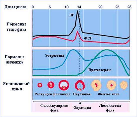 Таблица гормонального цыкла