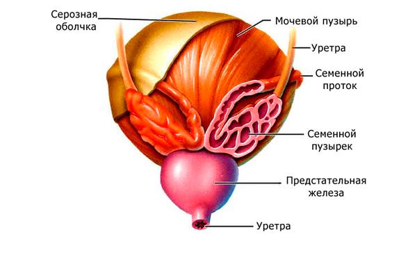 Везикулит, как причина агрегации сперматозоидов