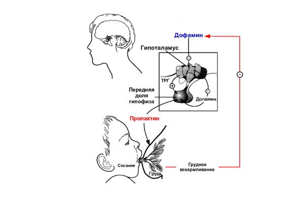 Схема действия Пролактина