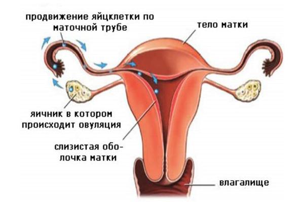 Схема формирования яйцеклетки