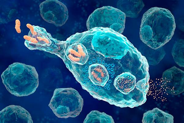 Уничтожение опасных для организма объектов макрофагами