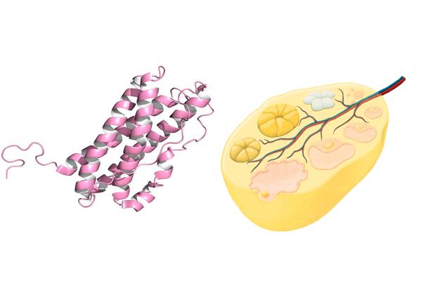 Влияние пролактина на желтое тело