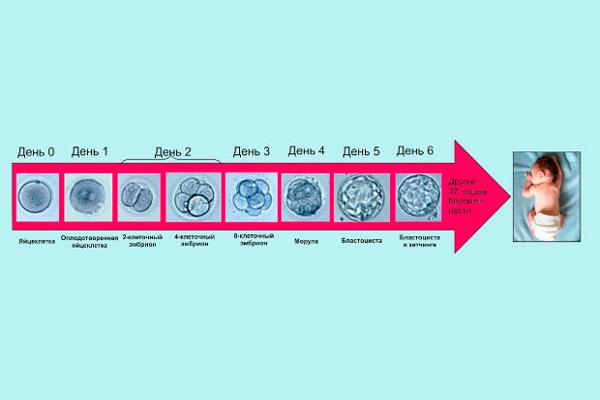 Стадия развития эмбриона по дням