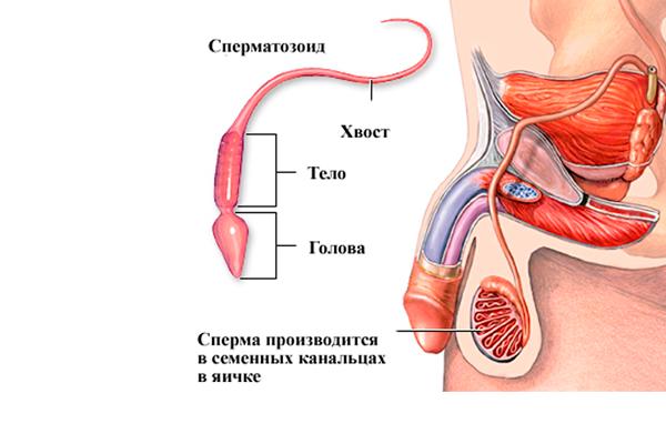 Выработка сперматозоидов яичниками, как одна из функций пролактина у мужчины