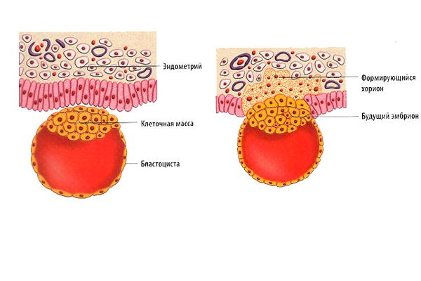 Взаимодействие бластоцисты с эндометрием