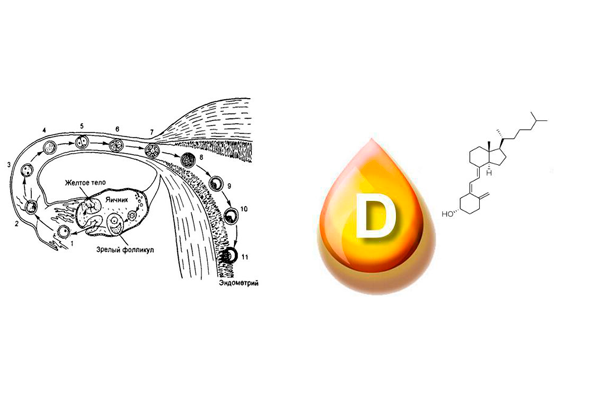 Участие витамина Д в оплодотворении
