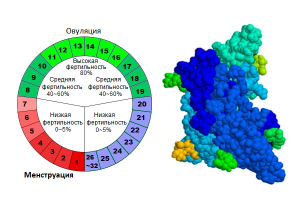 Выбор дня цикла для сдачи анализа на гормон ФСГ