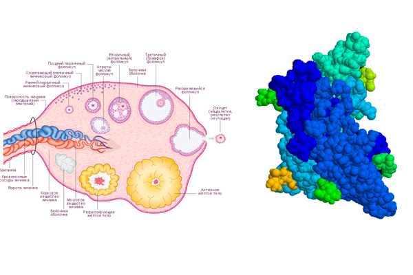 Влияние гормона ФСГ на созревания фолликулов