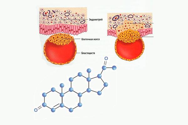 Участие прогестерона в прикреплении оплодотворенной яйцеклетки к эндометрию