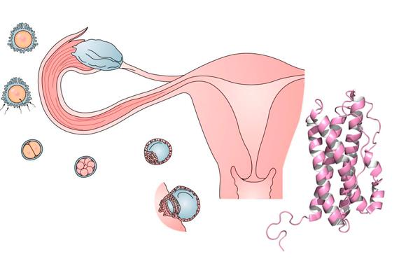 Контроль формирования овуляции пролактином