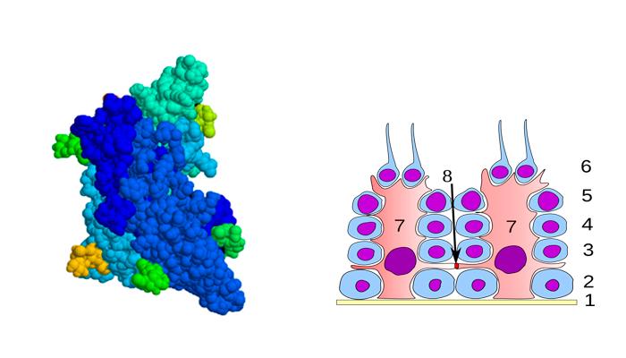 Участие гормона ФСГ в образовании клеток Сертоли