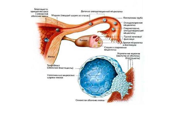 Наступившая беременность, как один из показателей изменения концентрации прогестерона