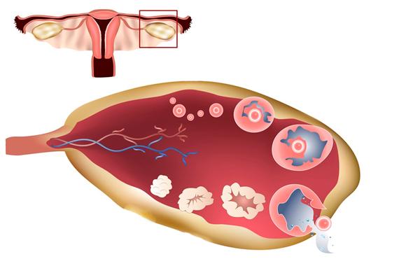 Лютеиновая фаза менструального цикла
