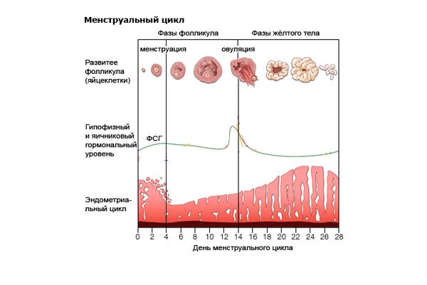 Изменение концентрации ФСГ в менструальном цикле