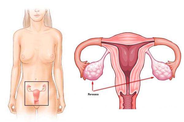 Яичники у женщины