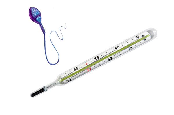 Влияние температуры тела на жизнь сперматозоидов