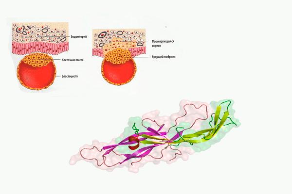 Участие ХГЧ в процессе прикрепления плодородного яйца к эндометрию