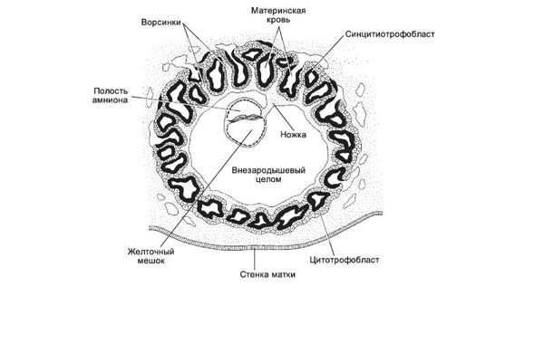 Схема плодного яйца прикрепленного к стенке матки