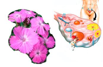 Маточная гвоздика при бесплодии: насколько эффективен народный метод?