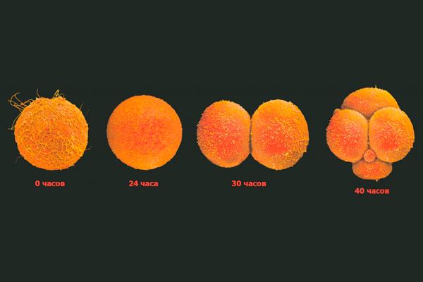 Процесс деления яйцеклетки