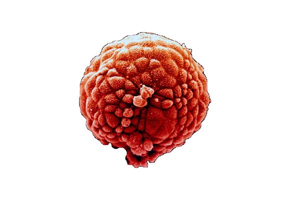 Пятидневный эмбрион для пересадке в программе ЭКО