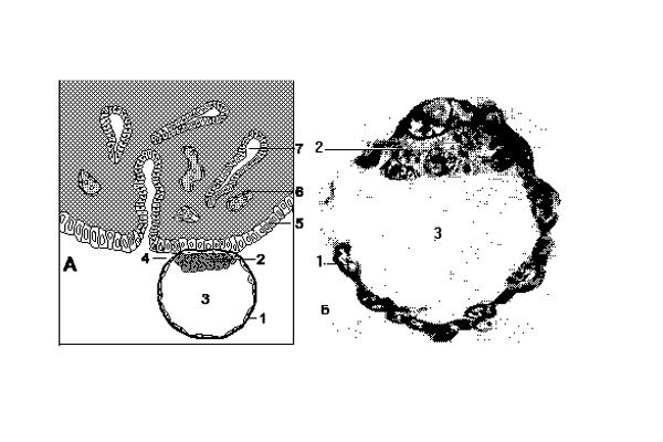 Схема прикрепления бластоцисты к эндометрию