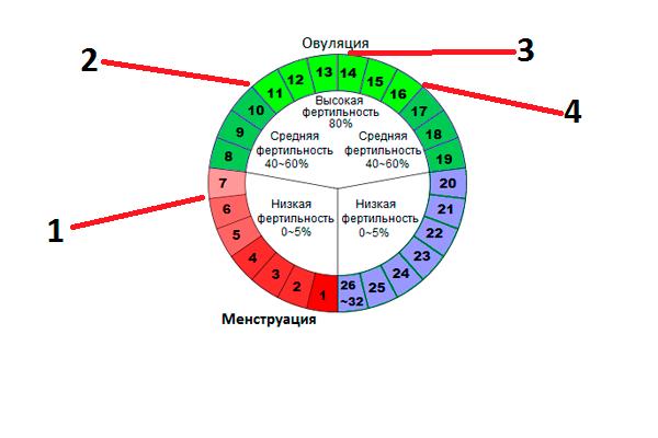 Дни менструального цикла в которые проводится фолликулометрия