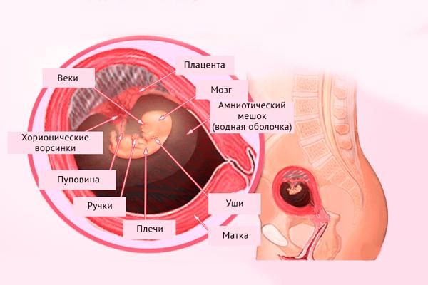 Строение плода на 9-й недели беременности