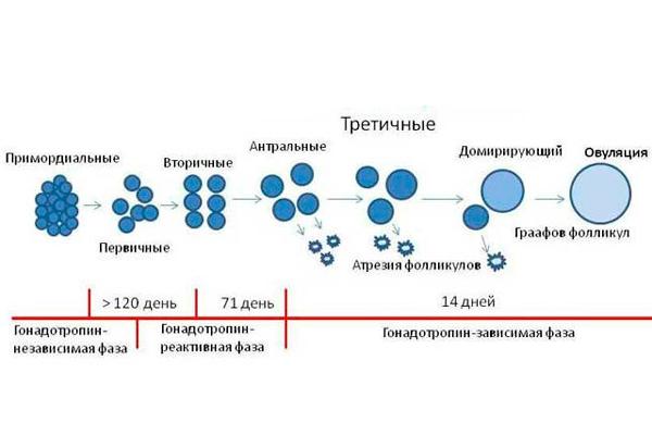 Схема отбора доминантного фолликула