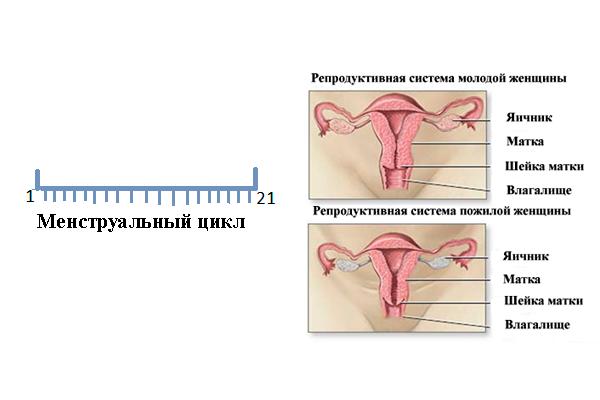 Короткий менструальный цикл перед климаксом