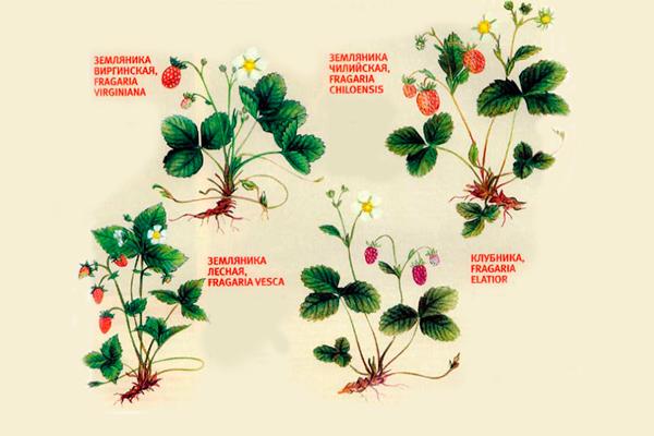 Разновидности клубники