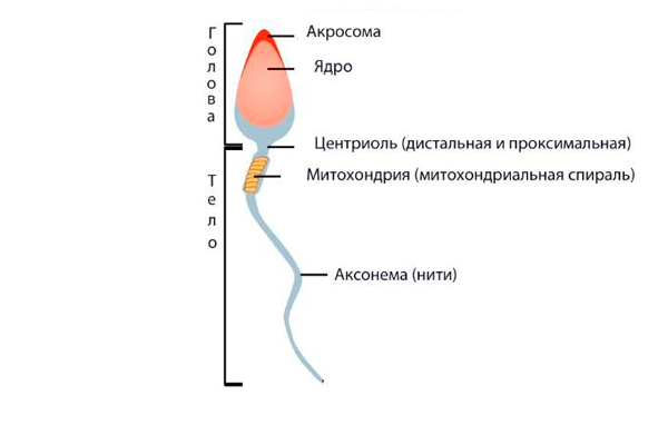 Строение сперматозоида