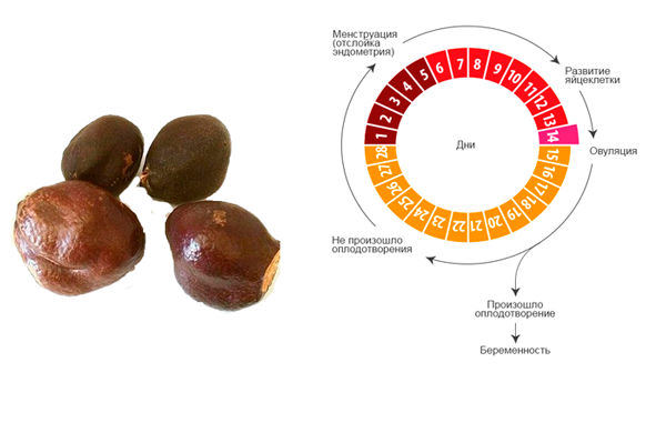 Нормализация менструального цикла после приема ореха мохилхин