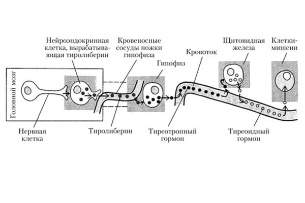 Схема действия тиреотропного гормона