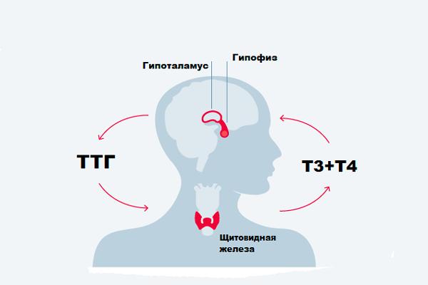Стимуляция трийодтиронина и тироксина ТТГ