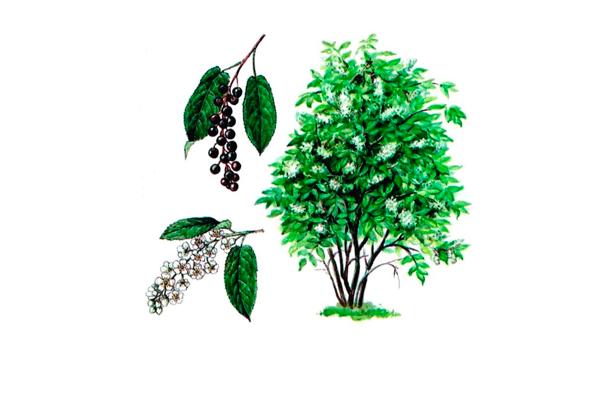 Растение «Черемуха обыкновенная»
