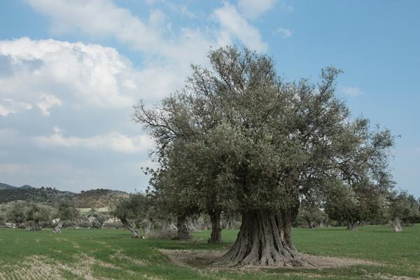 Дерево «Олива европейская» на которой растут оливки и маслины