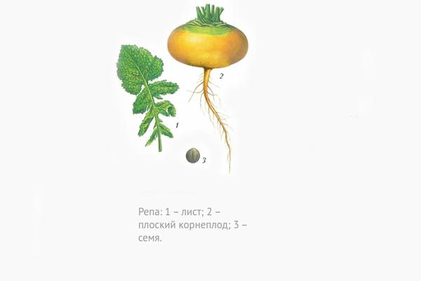 Строение овоща репы