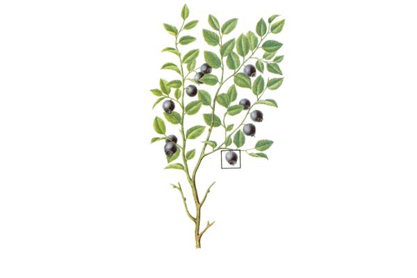 Растение «Черника обыкновенная»