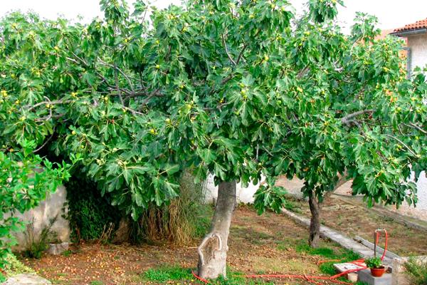 Плоды инжира растущие на фиговом дереве