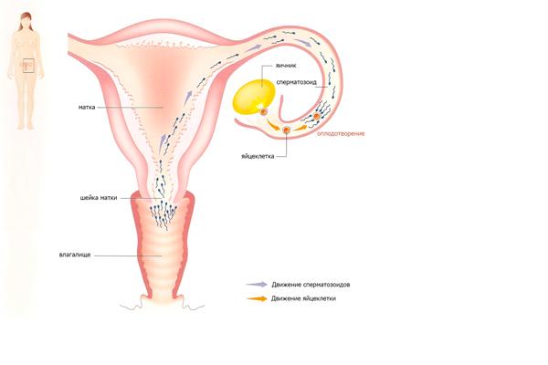 Путь сперматозоидов к яйцеклетке в матке