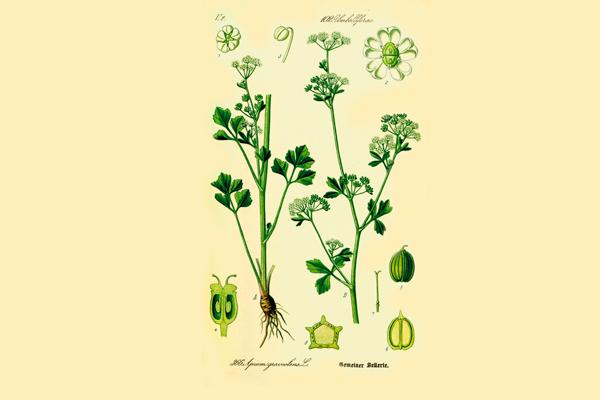 Растение «Сельдерей пахучий»