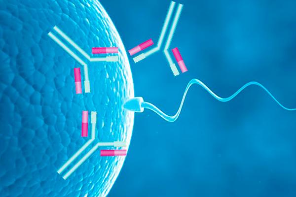 Процесс захвата антителами сперматозоида