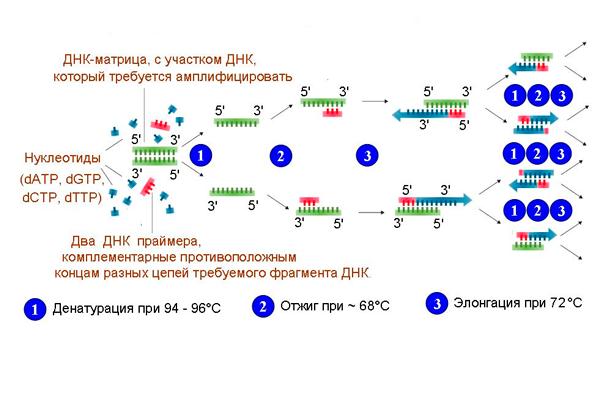 Схема полимеразно-цепной реакции для диагностирования цитомегаловируса