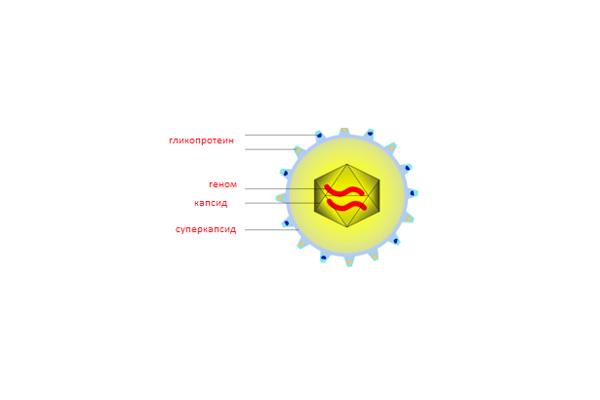 Строение цитомегаловируса