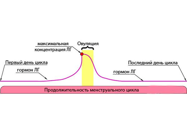 Изменение концентрации лютеинизирующего гормона на протяжении менструального цикла