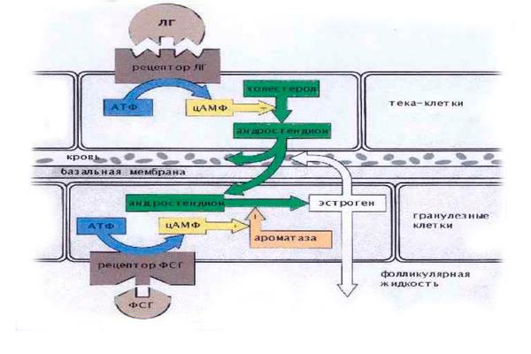 Роль гормонов ФСГ и ЛГ в продукции овариальных стероидов